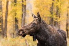 De Amerikaanse elandenportret van koeshiras Royalty-vrije Stock Foto