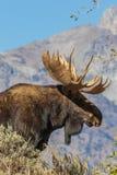 De Amerikaanse elandenportret van stierenshiras royalty-vrije stock afbeelding