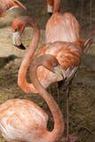 De Amerikaanse Flamingo's/de Amerikaanse Flamingo's Phoenicopterus ruber zijn grote species van flamingo Stock Fotografie