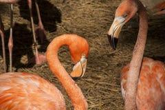 De Amerikaanse Flamingo's/de Amerikaanse Flamingo's Phoenicopterus ruber zijn grote species van flamingo Royalty-vrije Stock Foto
