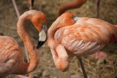 De Amerikaanse Flamingo's/de Amerikaanse Flamingo's Phoenicopterus ruber zijn grote species van flamingo Royalty-vrije Stock Fotografie