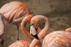 De Amerikaanse Flamingo's/de Amerikaanse Flamingo's Phoenicopterus ruber zijn grote species van flamingo Royalty-vrije Stock Afbeeldingen