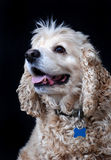 De Amerikaanse hond van de Cocker-spaniël, fawn kleur Royalty-vrije Stock Fotografie