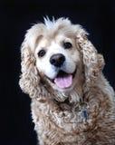 De Amerikaanse hond van de Cocker-spaniël, fawn kleur Royalty-vrije Stock Afbeeldingen
