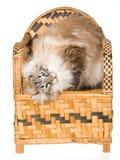 De Amerikaanse kat van de Krul op geweven bamboestoel Royalty-vrije Stock Afbeelding
