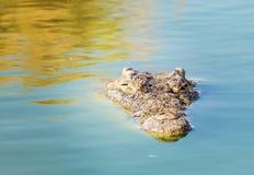 De Amerikaanse krokodil ziet slechts het hoofd Royalty-vrije Stock Foto's
