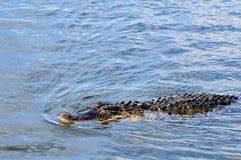 De Amerikaanse krokodille jacht Stock Afbeeldingen
