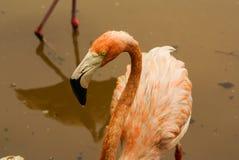 De Amerikaanse ondersoorten van Caraïbische Flamingo (Phoenicopterus ruber ruber) royalty-vrije stock foto's