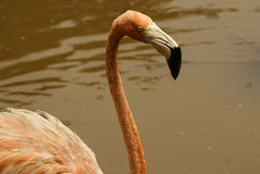 De Amerikaanse ondersoorten van Caraïbische Flamingo (Phoenicopterus ruber ruber) stock afbeelding