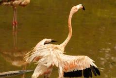 De Amerikaanse ondersoorten van Caraïbische Flamingo (Phoenicopterus ruber ruber) stock foto
