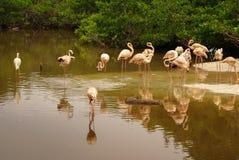 De Amerikaanse ondersoorten van Caraïbische Flamingo (Phoenicopterus ruber ruber) royalty-vrije stock afbeeldingen