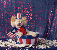 De Amerikaanse patriottische kleine hond zit in sterren en strepenemmer Stock Foto