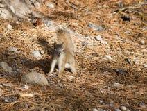De Amerikaanse rode eekhoorn (Tamiasciurus-hudsonicus) Royalty-vrije Stock Afbeeldingen
