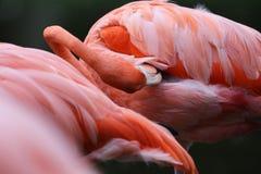 De Amerikaanse Roze Flamingo stock afbeeldingen