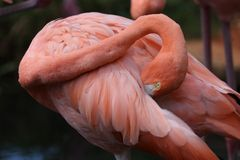 De Amerikaanse Roze Flamingo stock foto
