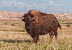 De Amerikaanse Stier van de Bizon in Badlands van Zuid-Dakota Royalty-vrije Stock Afbeeldingen