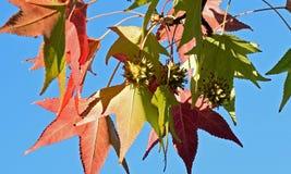 De Amerikaanse sweetgumliquidambar bladeren van de styracifluaboom en zaadpeul S Stock Foto