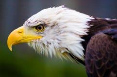 De Amerikaanse Vogel van de Adelaar stock foto's