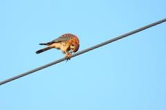 De Amerikaanse vogel van de Torenvalk op draad Royalty-vrije Stock Afbeeldingen