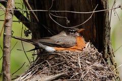 De Amerikaanse zitting van Robin op een nest royalty-vrije stock foto