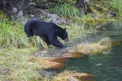 De Amerikaanse zwarte draagt americanus Ursus is een middelgrote beer inheems aan Noord-Amerika Het zoeken naar voedsel in klein stock foto