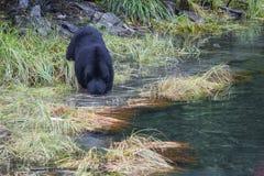 De Amerikaanse zwarte draagt americanus Ursus is een middelgrote beer inheems aan Noord-Amerika Het zoeken naar voedsel in klein stock afbeelding