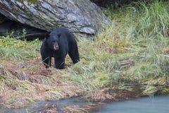 De Amerikaanse zwarte draagt americanus Ursus is een middelgrote beer inheems aan Noord-Amerika Het zoeken naar voedsel in klein stock foto's