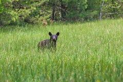 De Amerikaanse Zwarte draagt lopend in de weide in het Nationale Park van Great Smoky Mountains, is dit de beroemde plaats in Ten Royalty-vrije Stock Afbeeldingen