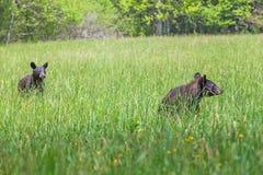 De Amerikaanse Zwarte draagt lopend in de weide in het Nationale Park van Great Smoky Mountains, is dit de beroemde plaats in Ten Royalty-vrije Stock Afbeelding