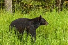 De Amerikaanse zwarte draagt & x28; Ursus americanus& x29; Stock Fotografie
