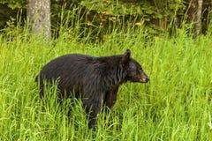 De Amerikaanse zwarte draagt & x28; Ursus americanus& x29; Royalty-vrije Stock Foto's