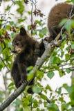De Amerikaanse Zwarte draagt Welpen (americanus Ursus) Stock Fotografie