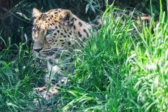De Amurluipaard ligt in wachttijd onder groen gras stock fotografie