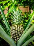 De ananas is een tropische installatie met een eetbaar fruit stock afbeeldingen