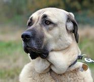 De Anatolische hond van de Herder Stock Foto