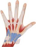 De anatomie van de hand Stock Foto