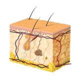 De anatomie van de huid Stock Fotografie