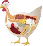 De anatomie van de kip Stock Fotografie