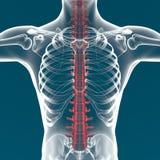 De anatomie van de menselijk lichaamsstekel Stock Fotografie