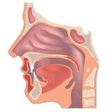 De anatomie van de neus stock illustratie