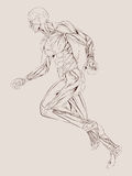 De Anatomie van de spier Stock Afbeeldingen
