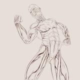 De Anatomie van de spier vector illustratie