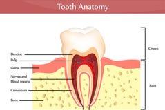 De anatomie van de tand Stock Afbeelding