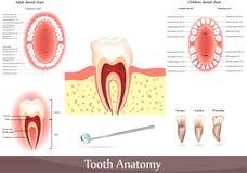 De anatomie van de tand Stock Foto's