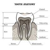 De anatomie van de tand vector illustratie