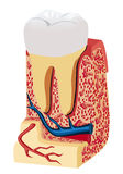 De anatomie van de tand (model) Stock Afbeelding