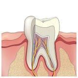 De anatomie van de tand. Vector illustratie. stock illustratie