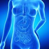 De anatomie van femaleroyalty-vrije illustratie
