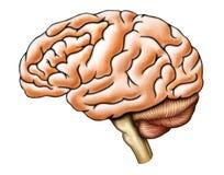 De anatomie van hersenen Stock Foto