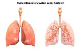 De Anatomie van het Ademhalingssysteemlongen van menselijk Lichaamsorganen stock illustratie